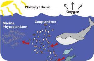 phytoplankton chain