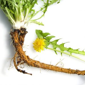 PanaSea Ingredient- Dandelion Root (Taraxacum Officianale)