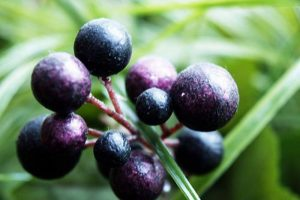 PanaSea Ingredient- Maqui Berry (Aristotelia chilensis)